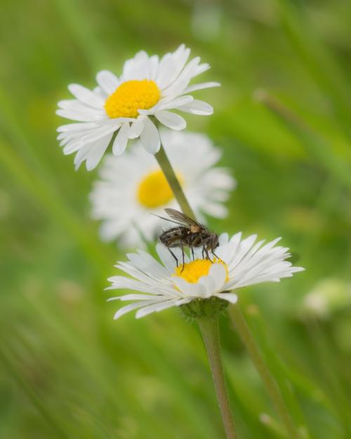Z muchą :)