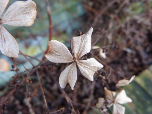 ubiegłoroczne kwiaty hortensji