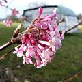 różowo kwitnący krzew
