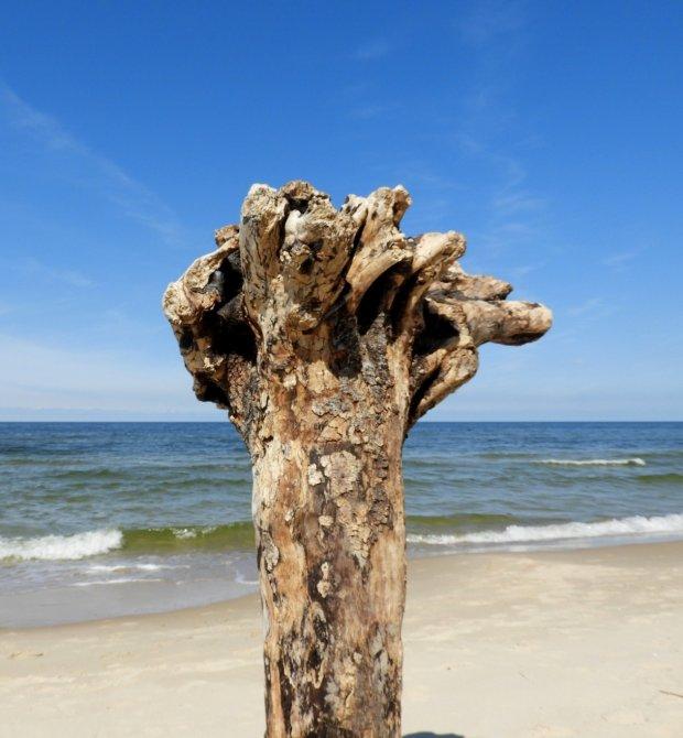 Nadmorski baobab.