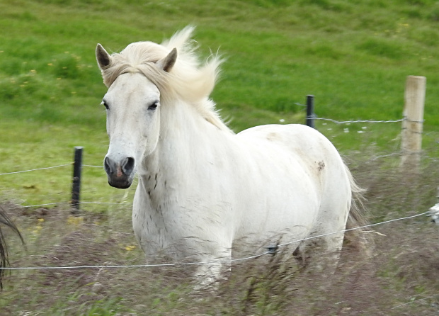 Koń Islandzki - rasa wyhodowana na wyspie