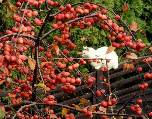 Brysia i rajskie jabłuszka.