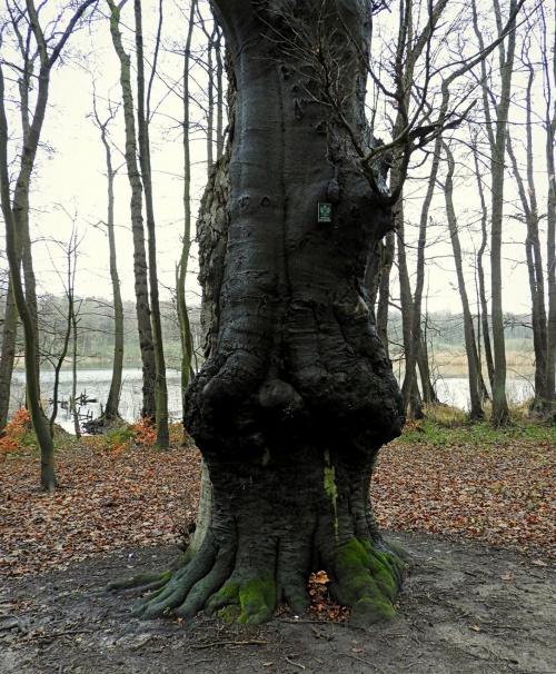 Jeden z pomników przyrody w lesie nad Głębokiem.