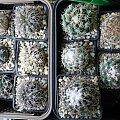 Gymnocalycium spegazzinii i Coryphantha
