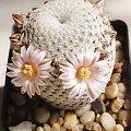 Mammillaria pectinifera (Solisia pectinata)