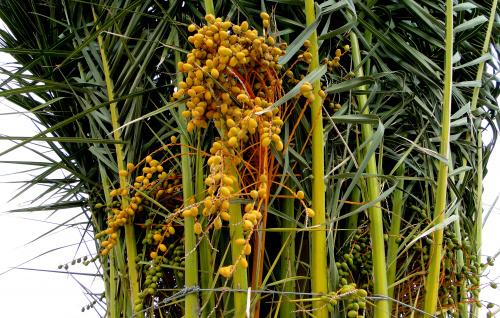 Owoce palmy