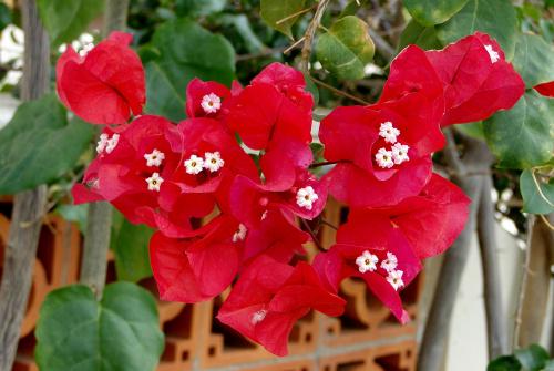 Kwiaty zimowe na kanarach