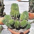 Echinopsis eyreiesi