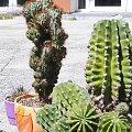 Echinopsis eyreiesi i Cereus peruvianus monstrose