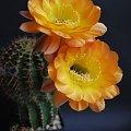 Echinopsis hybride 5-2005 (gold-gelb, rose Streifen od Wessnera)