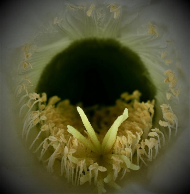 szczegóły kwiatu kaktusa - środek