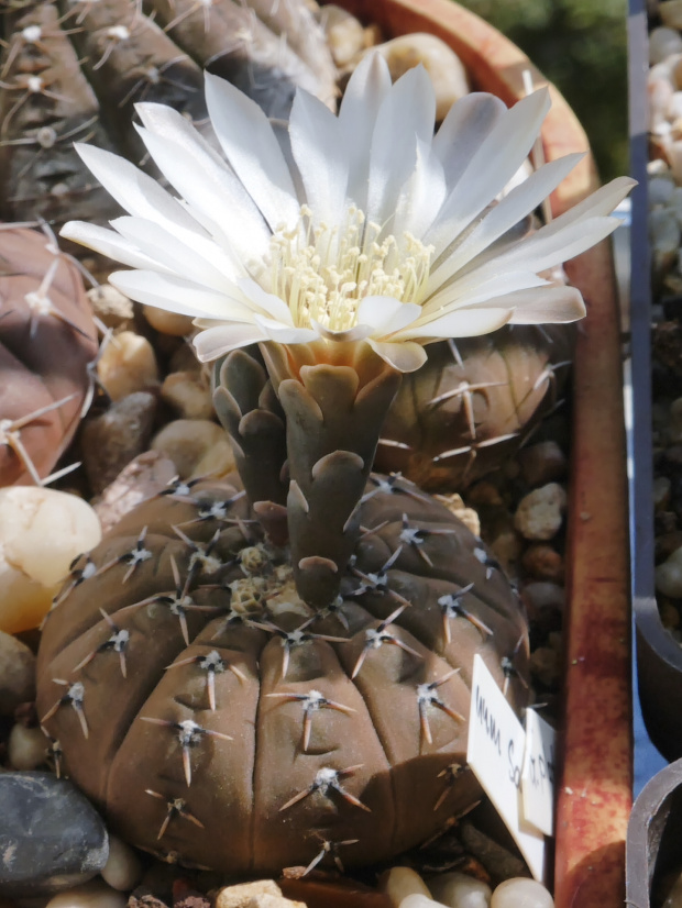 Gymnocalycium riojense v. Sanjuauense
