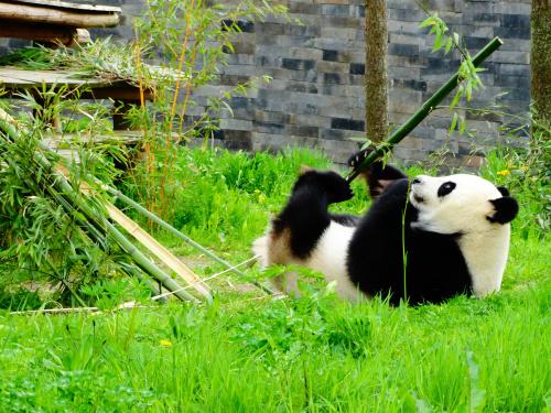 """""""Leuke Panda's"""" - Ouwenhands Dieren Park NL"""