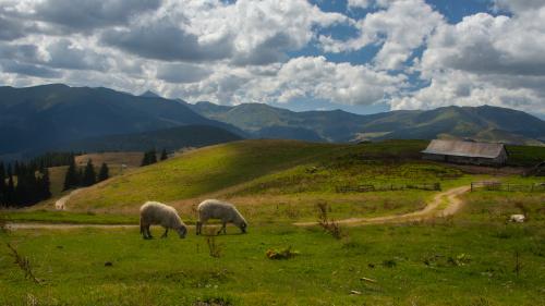 Owieczki w kolorze - z dedykacją dla Szoti