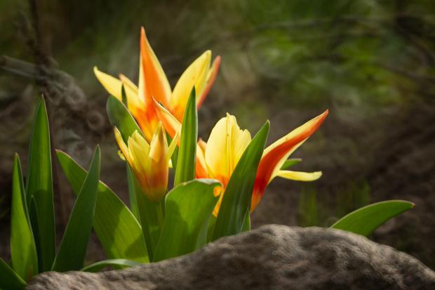 Już zakwitły pierwsze tulipany!
