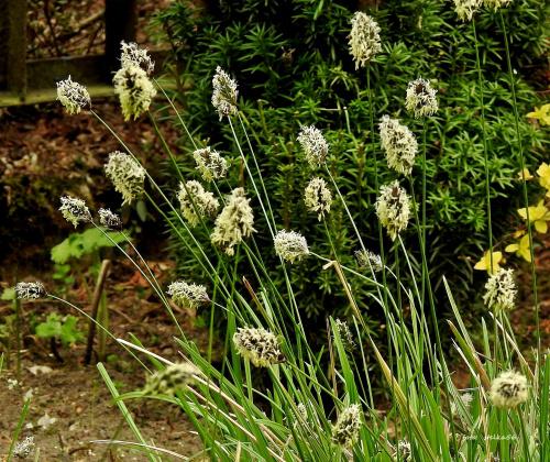 Trawa sesleria skalna, najwcześniej kwitnąca trawa w moim ogródku ...