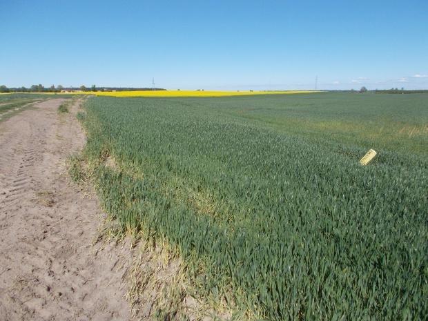 Swobodnie potraktowany przez rolnika pas drogowy (zobaczcie gdzie stoi żółty słupek)