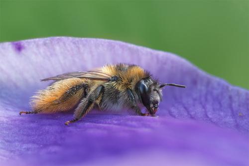 Obrostka letnia widok z boku. Zwana jest także pszczołą pantalońską