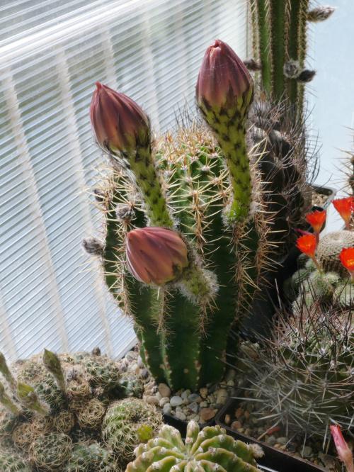Echinopsis hybride 5-2005 Wessner