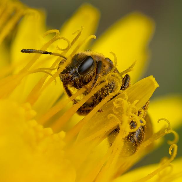 Pszczolinka przy pracy